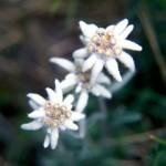 Delicateţea – floare de colţ